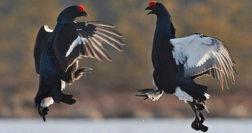 Black_Grouse_2